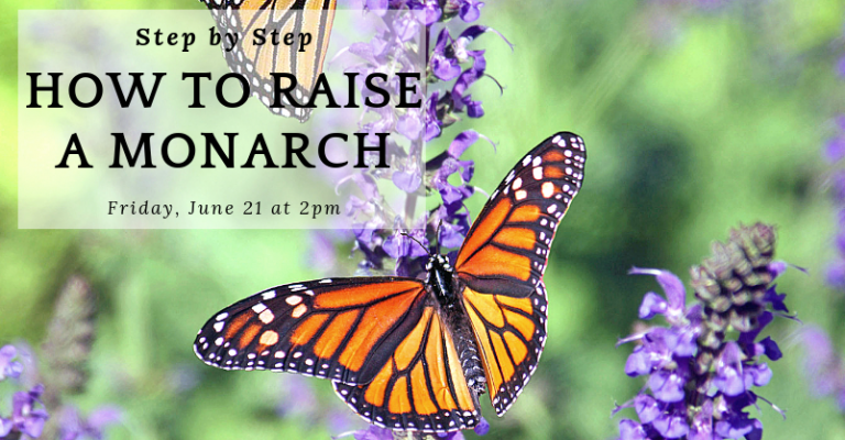 How to raise a Monarch visual